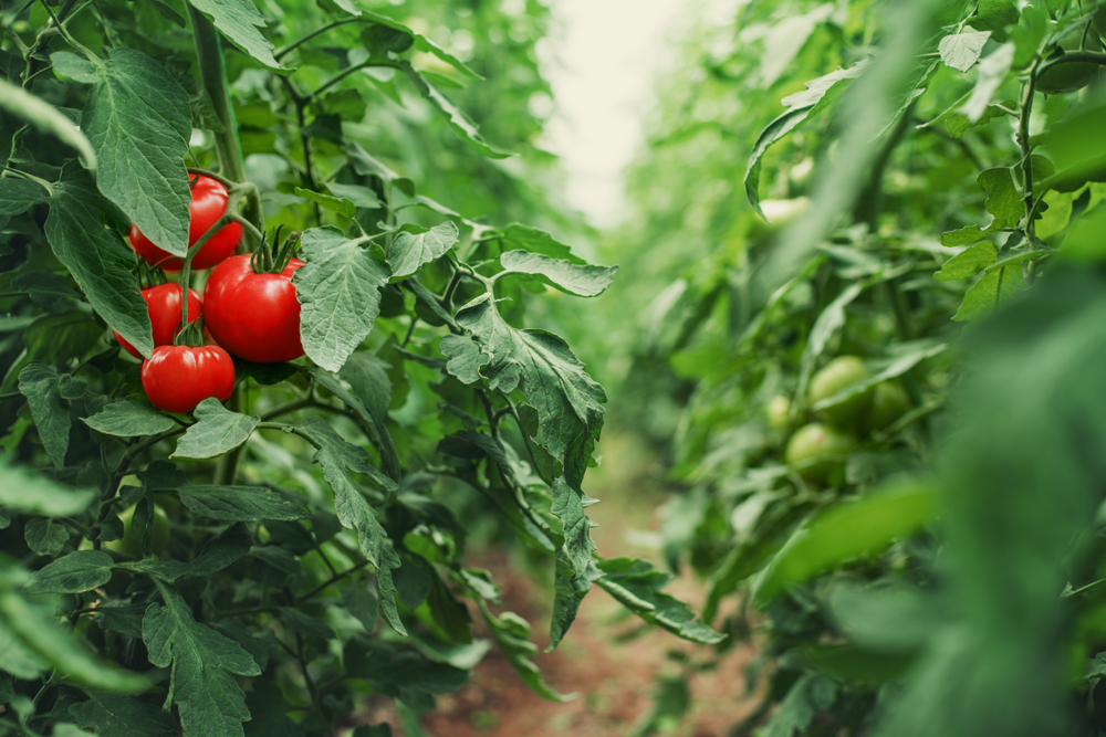 Tomates dans une serre.